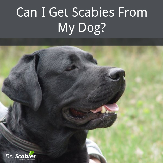 Scabies from pets, Scabies Infestation, Scabies Infection