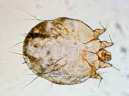 How scabies mites are transmitted?
